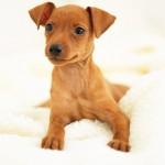396832 Pinscher 150x150 Raças de cachorros pequenos: fotos
