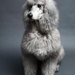 396832 Poodle 150x150 Raças de cachorros pequenos: fotos