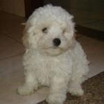 396832 Poodle Toy 150x150 Raças de cachorros pequenos: fotos