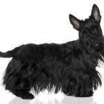 396832 Scottish Terrier 150x150 Raças de cachorros pequenos: fotos