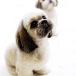 396832 Shih Tzu 150x150 Raças de cachorros pequenos: fotos