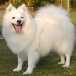 396832 Spitz 150x150 Raças de cachorros pequenos: fotos