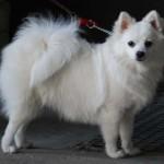 396832 Volpino Italiano 150x150 Raças de cachorros pequenos: fotos