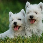 396832 West Highland Terrier 150x150 Raças de cachorros pequenos: fotos