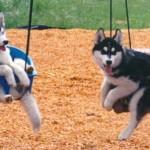 407901 cachorros no balanco 150x150 Cachorros: fotos engraçadas