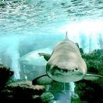 410196 Fotos de tubarões espécies tamanhos 150x150 Fotos de tubarões: espécies, tamanhos