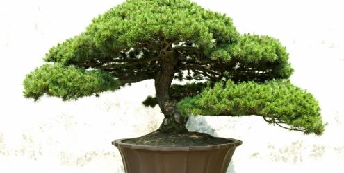 Bonsai como cuidar dicas - Como cuidar bonsais ...