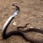 427979 As cobras e serpentes mais exóticas do mundo 13 150x150 As cobras e serpentes mais exóticas do mundo