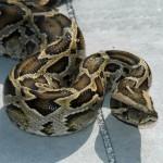 427979 As cobras e serpentes mais exóticas do mundo 16 150x150 As cobras e serpentes mais exóticas do mundo