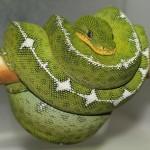 427979 As cobras e serpentes mais exóticas do mundo 18 150x150 As cobras e serpentes mais exóticas do mundo