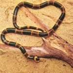 427979 As cobras e serpentes mais exóticas do mundo 22 150x150 As cobras e serpentes mais exóticas do mundo