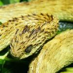 427979 As cobras e serpentes mais exóticas do mundo 9 150x150 As cobras e serpentes mais exóticas do mundo