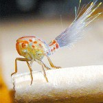 430396 insetos estranhos 1 150x150 Os insetos mais estranhos do mundo