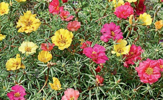 jardim flores que gostam de sol: é uma espécie perfeita para lugares com muita incidência de sol