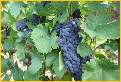 Benefícios da uva de forma concentrada. Foto:(Divulgação)