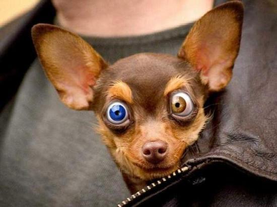 Cachorro vesgo com olhos coloridos. (Foto: divulgação)