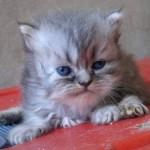 461494 Fotos de filhotes de gato bonitos 16 150x150 Fotos de filhotes de gato bonitos
