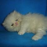 461494 Fotos de filhotes de gato bonitos 19 150x150 Fotos de filhotes de gato bonitos