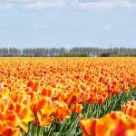 470111 Fotos da Holanda país das tulipas 04 150x150 Fotos da Holanda, país das tulipas