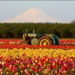 470111 Fotos da Holanda país das tulipas 20 150x150 Fotos da Holanda, país das tulipas