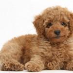 496556 Fotos de cães da raça poodle 1 150x150 Fotos de cães da raça poodle