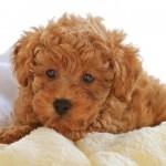 496556 Fotos de cães da raça poodle 13 150x150 Fotos de cães da raça poodle