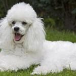 496556 Fotos de cães da raça poodle 150x150 Fotos de cães da raça poodle