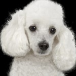 496556 Fotos de cães da raça poodle 18 150x150 Fotos de cães da raça poodle