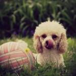 496556 Fotos de cães da raça poodle 23 150x150 Fotos de cães da raça poodle
