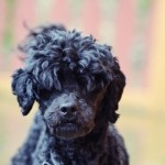 496556 Fotos de cães da raça poodle 25 150x150 Fotos de cães da raça poodle