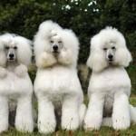 496556 Fotos de cães da raça poodle 6 150x150 Fotos de cães da raça poodle