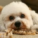 496556 Fotos de cães da raça poodle 9 150x150 Fotos de cães da raça poodle