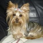 496636 fotos de caes da raça yorkshire 15 150x150 Fotos de cães da raça Yorkshire