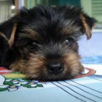 496636 fotos de caes da raça yorkshire 7 150x150 Fotos de cães da raça Yorkshire