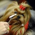 496636 fotos de caes da raça yorkshire 8 150x150 Fotos de cães da raça Yorkshire