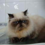 497735 fotos de gatos da raça persa 11 150x150 Fotos de gatos da raça persa