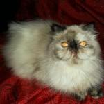497735 fotos de gatos da raça persa 16 150x150 Fotos de gatos da raça persa