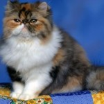 497735 fotos de gatos da raça persa 2 150x150 Fotos de gatos da raça persa