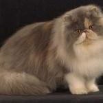 497735 fotos de gatos da raça persa 8 150x150 Fotos de gatos da raça persa