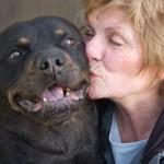 498367 caes da raça rottweiler fotos 25 150x150  Cães da raça rottweiler: fotos