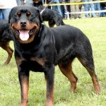 498367 caes da raça rottweiler fotos 29 150x150  Cães da raça rottweiler: fotos