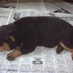 498367 caes da raça rottweiler fotos 3 150x150  Cães da raça rottweiler: fotos