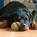 498367 caes da raça rottweiler fotos 33 150x150  Cães da raça rottweiler: fotos