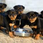 498367 caes da raça rottweiler fotos 34 150x150  Cães da raça rottweiler: fotos