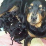 498367 caes da raça rottweiler fotos 37 150x150  Cães da raça rottweiler: fotos