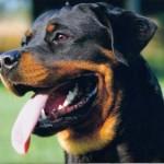 498367 caes da raça rottweiler fotos 40 150x150  Cães da raça rottweiler: fotos