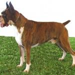 498514 A cor rajada é uma das reconhecidas oficialmente. 150x150 Cães da raça boxer: fotos