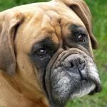 498514 Apesar de dócil o boxer possui cara de poucos amigos. 150x150 Cães da raça boxer: fotos