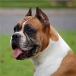 498514 Como cão de guarda o boxer não deixa nada a desejar. 150x150 Cães da raça boxer: fotos