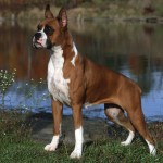 498514 Essa raça de cães é muito inteligente. 150x150 Cães da raça boxer: fotos